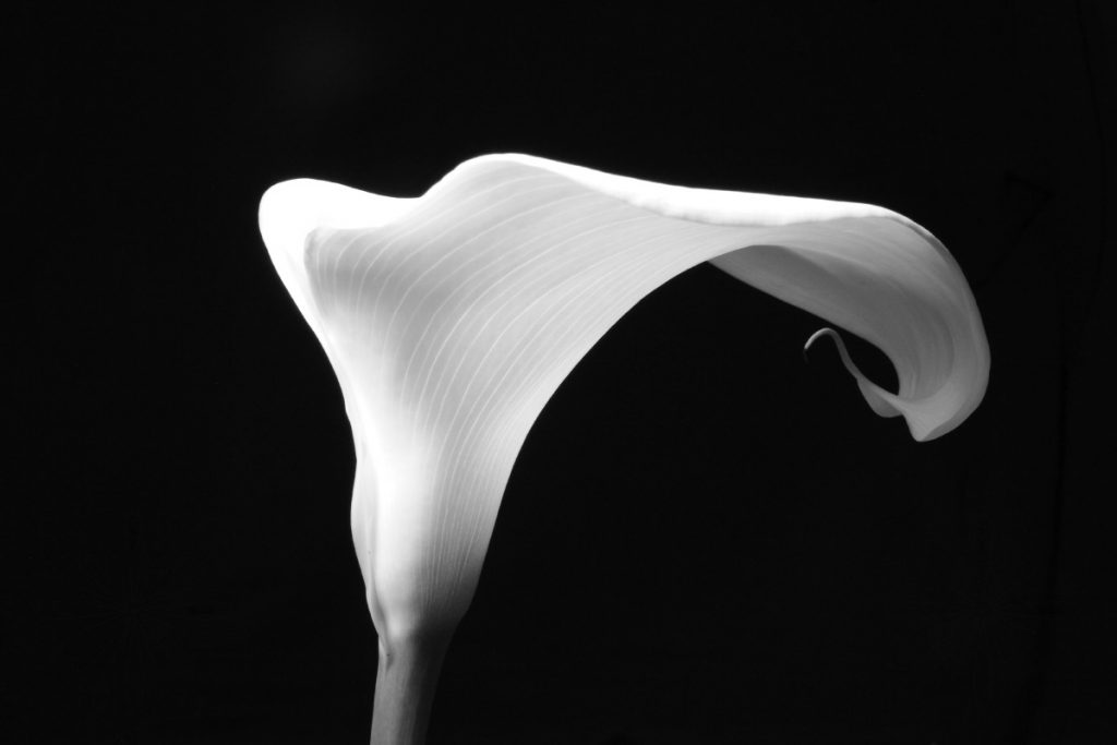 Arum Lily - side view
